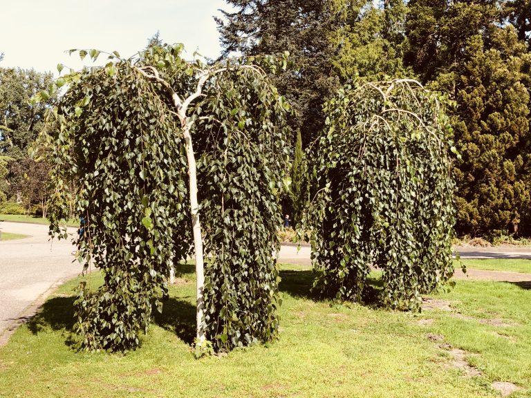 Twee treurig uitziende, hangende bomen