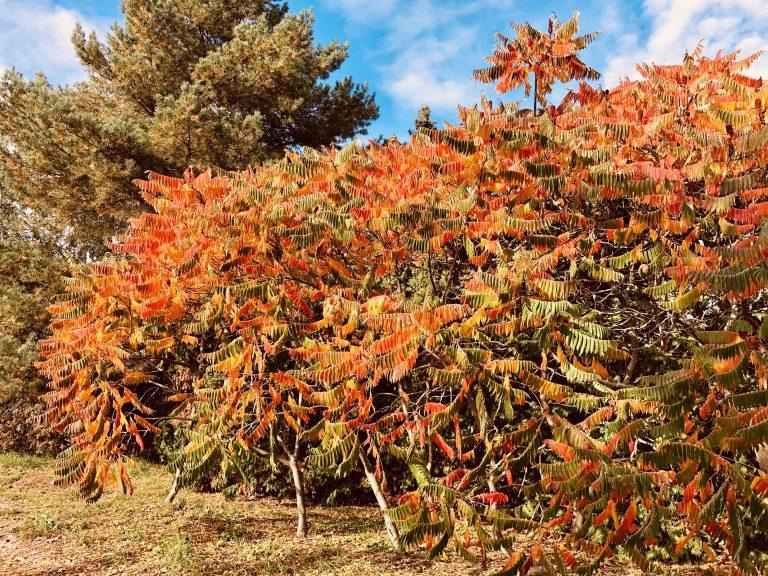 Een struik met bruinrode herfstbladeren