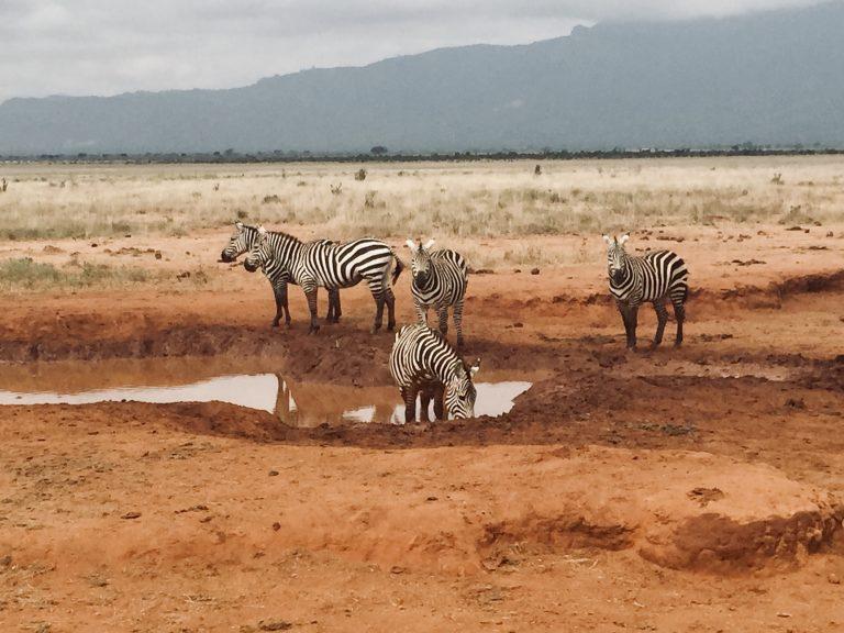 Een Afrikaans landschap met vier zebra's